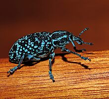 Chrysolopus spectabilis (Botany Bay Weevil) by Colin12
