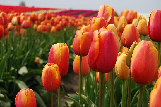 Skagit Valley Tulips by Tori Snow