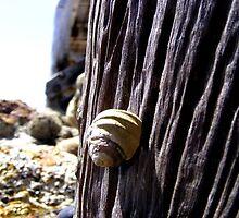 Sea Shell by elizabethrose05