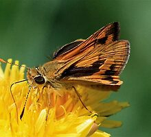 The Hesperiidae Butterfly by Selina Tour