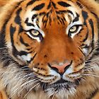 Face of A Tiger by kkgivens