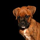 Boxer Puppy by AngieM