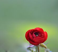 Red Ranunculus Macro  by Lena127