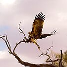 Eagle Landing by bettyb