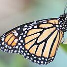 Monarch - HDR by Donna Adamski