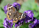 Common Buckeye  by Tori Snow