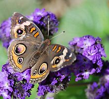 Common Buckeye  by Tori Snow