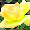 ALL YELLOW ROSE CLOSE UP -