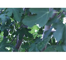 Fig Leaves! Photographic Print