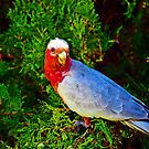 Galah Red by bygeorge