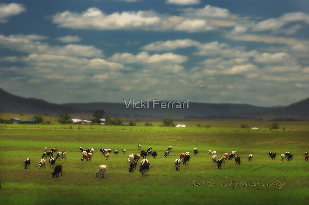 Killarney Dairy Cattle © Vicki Ferrari Photography by Vicki Ferrari
