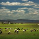Killarney Dairy Cattle  Vicki Ferrari Photography by Vicki Ferrari