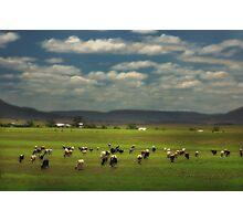Killarney Dairy Cattle © Vicki Ferrari Photography Photographic Print