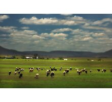 Killarney Dairy Cattle © Vicki Ferrari Photography Photographic Print