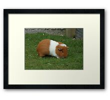 Brown and White guinea pig Framed Print
