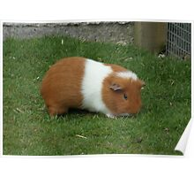 Brown and White guinea pig Poster