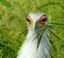 Secretary Bird by Norman1616