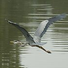 GREAT BLUE HERON 4 by Howard & Rebecca Taylor