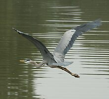 GREAT BLUE HERON 4 by H & B Wildlife  Nature Photography