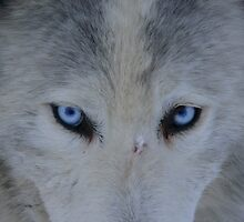husky by stephenedwards