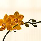 Orchid by Nala