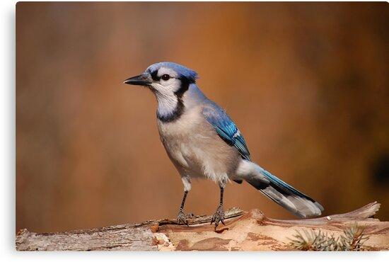 Pretty Blue Jay by Gregg Williams