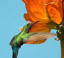Green-Throated Hummingbird by Nathan Lovas Photography