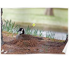 Canadian Goose with Eggs in Nest Poster
