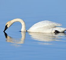 Trumpeter Swan  by Nathan Lovas Photography