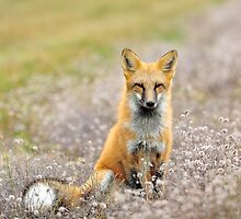 Red Fox In Wildflowers by Nathan Lovas Photography