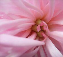 The soft color peony by Ana Belaj