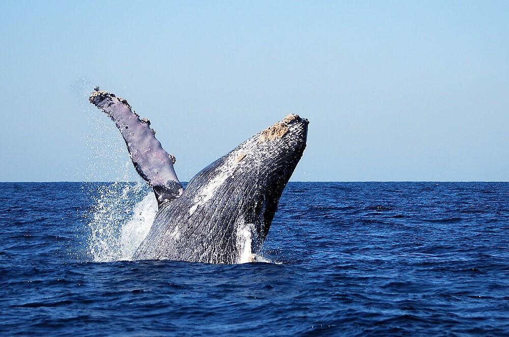Humpback Whale by LjMaxx