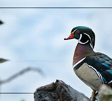 Wood Duck by Bonnie T.  Barry