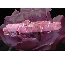 Pink Cadillac Rose Photographic Print