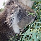 Koala munching lunch by georgiegirl