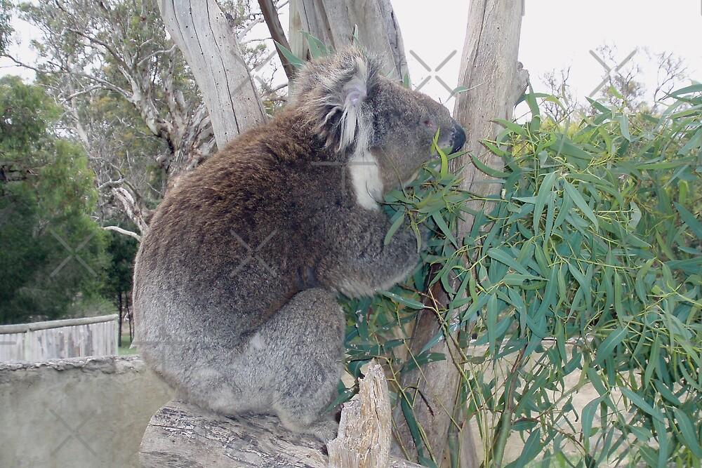 Koala still munching lunch by georgiegirl