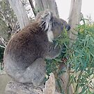 Koala still munching lunch by georgiegirl