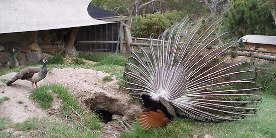 Peacock in Underpants by georgiegirl