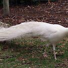 Peacock of Snow by georgiegirl