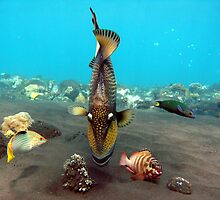 Trigger Fish Tulumben Bay by Vincey