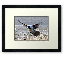 *Blue Faced Honey Eater* Framed Print