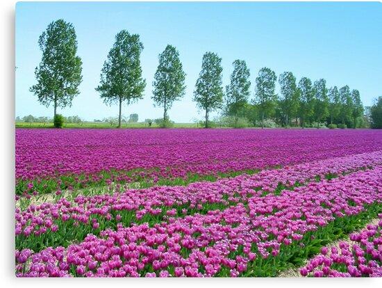 Purple Tulipfield by ienemien