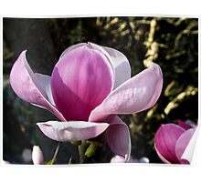 Pink Magnolia Tree Poster