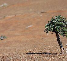 Desert Bonsai  by David Clark