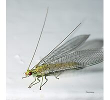 Lace Wing Insect (Macro) Photographic Print