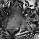 tiger by GabrielK