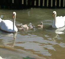 Family of Swans by Clive Midson