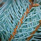 blue spruce by Kevin Williams