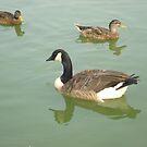 Ducks by lroof