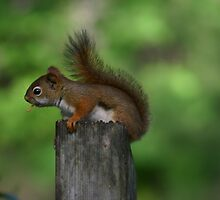 Red Squirrel by Alyce Taylor